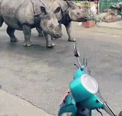 Enlace a Rinocerontes caminando por las calles de Nepal