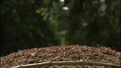 Enlace a Hormigas soltando ácido para defender su colonia