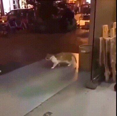 Enlace a Un gato haciendo el Moonwalk de Michael Jackson