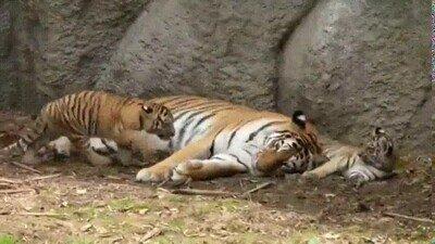 Enlace a Los tigres también pueden ser adorables cuando quieren