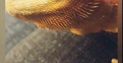 Enlace a Limpiando los agujeros de la nariz de un dragón