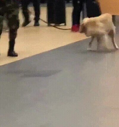 Enlace a Un perro vigilante del aeropuerto que se distrae con cualquier cosa