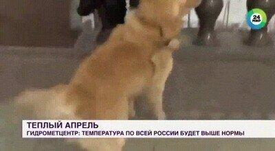 Enlace a Un perro trolleando a una reportera en directo