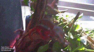 Enlace a Un camaleón que echa de menos a su dueño