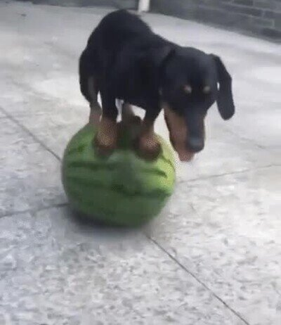 Enlace a Un perro haciendo malabares sobre una sandía