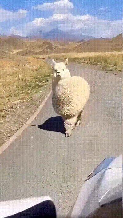 Enlace a Oye alpaca, ¿has visto a Paco?