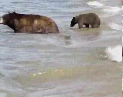Osos tomándose un bañito en el lago