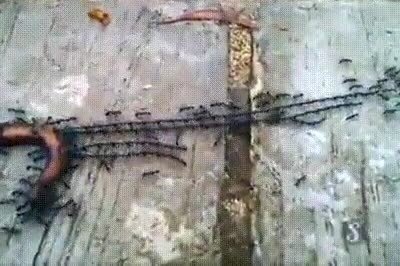 Así es cómo las hormigas trabajan en equipo para llevar a su presa