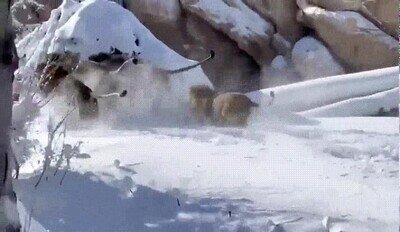 Enlace a Leones gozándolo en la nieve en el Zoo de Denver