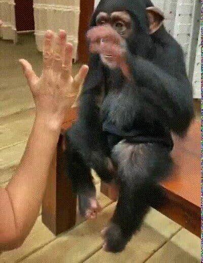 Enlace a Los chimpancés pueden ser la mar de cariñosos