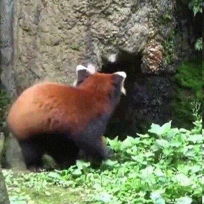 Enlace a Los pandas rojos son lo más adorable del mundo
