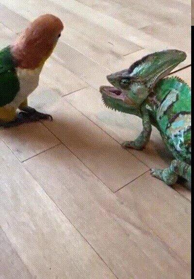 Enlace a Dos descendientes de los dinosaurios cara a cara