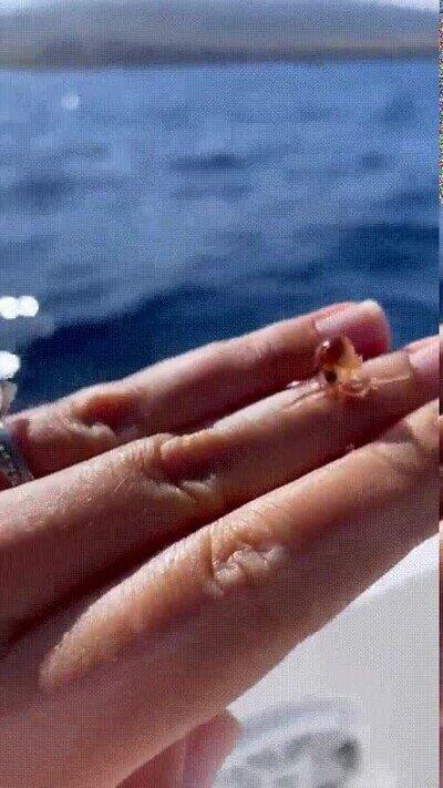Enlace a El pulpo más pequeño que has visto