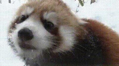 Enlace a Un Red Panda para alegrarte el día