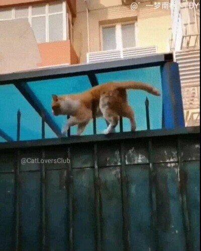 Enlace a Gatos que disfrutan presumiendo de agilidad