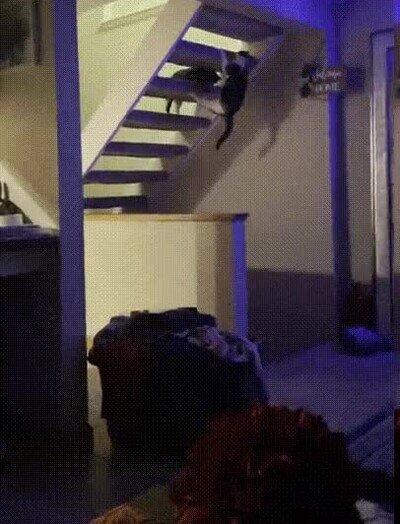 Enlace a Ninja Warrior ahora con gatos