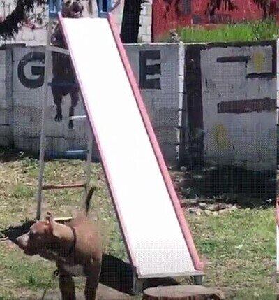 Enlace a Perros que han aprendido a tirarse por el tobogán