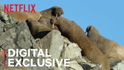 36926 - Todo el mundo está traumatizado después de ver esta escena de morsas en último documental de Netflix