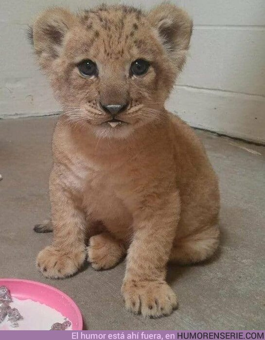 """40627 - Esta es Bahati, la leona utilizada como modelo para Simba en """"El Rey León"""" (2019)"""