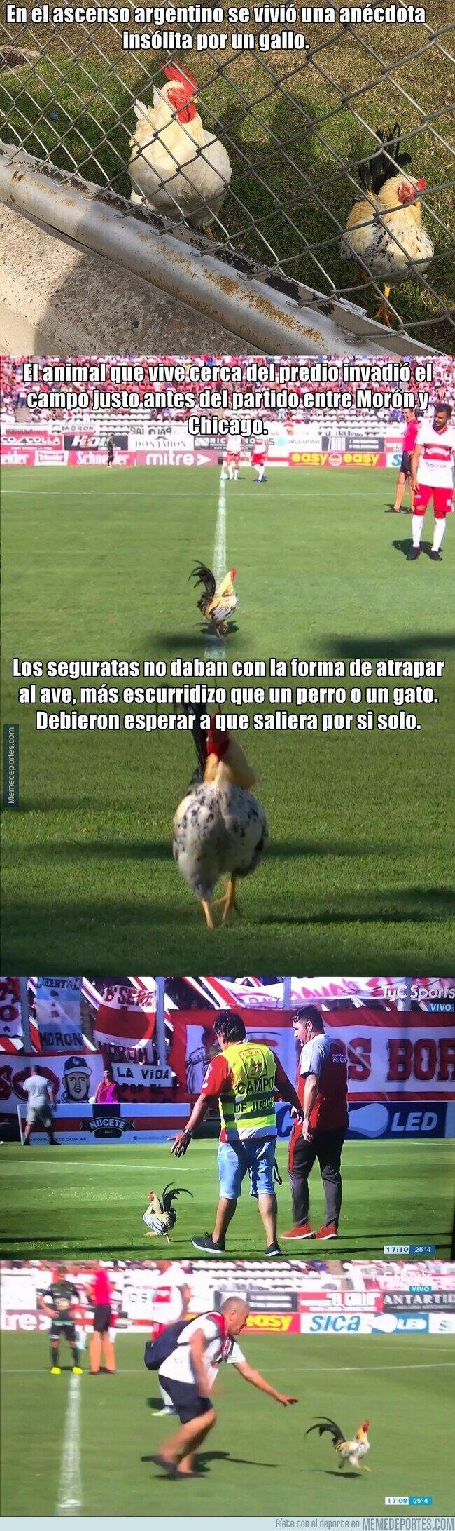 1098098 - El gallo que paró un partido en Argentina