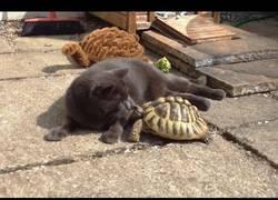 Enlace a Los gatos y tortugas tienen una curiosa relación
