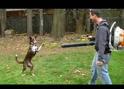 Enlace a Los perros se vuelven locos con los sopladores de hojas