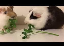 Enlace a La increíble carrera de dos conejillos de indias comiendo perejil