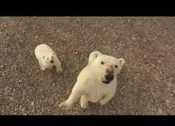 Enlace a Cuandro eres un oso polar y te da por cotillear un drone que sobrevuela encima tuyo