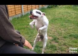 Enlace a El perro que se vuelve loco de alegría al ver a su dueño tocar la caja de música