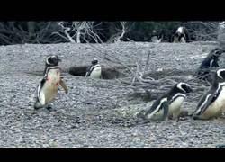 Enlace a Este pingüino llega a casa y encuentra a su señora con otro pingüino y pelean a matar