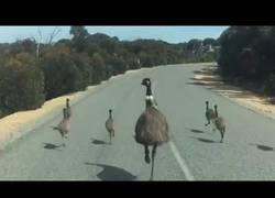 Enlace a Cuando tienes prisa con el coche pero te cruzas una familia de emús