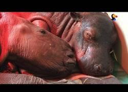 Enlace a Los bebés de rinoceronte que sus destinos se cruzaron y se hicieron grandes amigos