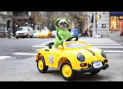 Enlace a Este perrito es la sensación en Nueva York con su coche
