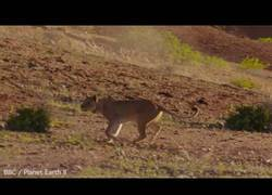 Enlace a El increíble momento en el que un león intenta atacar a una jirafa