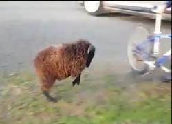Enlace a La cabra loca que odiaba las bicis y los ciclistas
