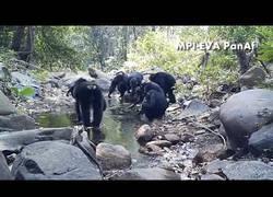 Enlace a Observan a los chimpancés haciendo algo nunca visto hasta la fecha