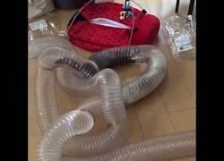 Enlace a La gran diversión de estos hurones jugando en tubos de plástico