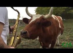 Enlace a Las vacas que amaban la música tocada en saxofono