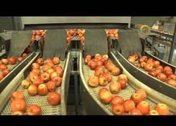 Enlace a Así es el proceso de empaquetado de las manzanas
