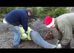 Enlace a Así de fácil se prepara un árbol de Navidad para ser vendido