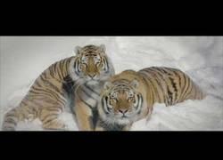 Enlace a Los tigres también son cazadores de drones