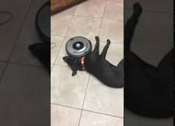 Enlace a Este perro pasa de moverse pese a que el Roomba quiere aspirar el suelo