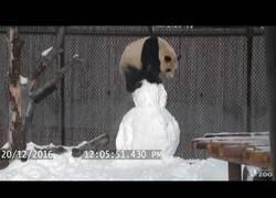 Enlace a Este panda del Zoo de Toronto se lo pasa en grande con su muñeco de nieve