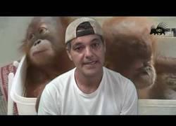 Enlace a Dos orangutanes más salvados gracias a Frank