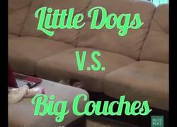 Enlace a El gran desafío de los perros pequeños es los enormes sofás