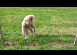 Enlace a Estos monos flipan mucho con un erizo