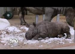 Enlace a Este bebé de rinoceronte descubre la nieve y se lo pasa en grande