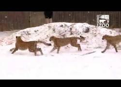Enlace a La curiosidad de estos guepardos al ver la nieve por primera vez