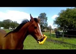 Enlace a El caballo más feliz del mundo con su pollo de goma