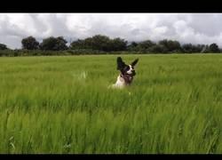 Enlace a La diversión de los perros al jugar en un sitio con hierba altísima